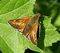 Large Skipper. female. Ochlodes sylvanus (16205078776).jpg