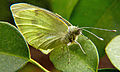 Large White (Pieris brassicae) - Wirral Peninsula, North West England.jpg