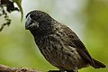 Large ground finch (4229035966).jpg