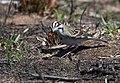 Lark Sparrow (46756758845).jpg