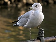 Larus delawarensis -San Francisco Bay Area, California, USA-8.jpg