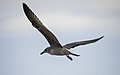 Larus michahellis juvenile in flight, Sète03.jpg