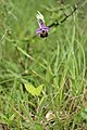 Late Spider orchid - Ophrys holoserica - panoramio (14).jpg