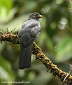 Lattice-tailed Trogon - female (2689327796).jpg