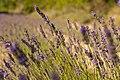 Lavender, Provence, France (6053005452).jpg