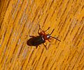 Leaf Beetle. Chrysomelidae. Oulema melanopus - Flickr - gailhampshire.jpg