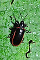 Leaf beetle Hispinae sp. (9536901858).jpg