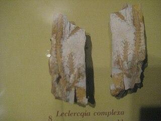 <i>Leclercqia</i> (plant) genus of plants (fossil)