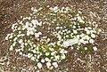 Leiophyllum buxifolium - Tower Hill Botanic Garden.JPG