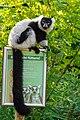 Lemur (24169152918).jpg