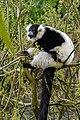 Lemur (26618859367).jpg