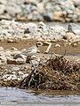 Lesser Sand Plover (Charadrius mongolus) (45815754041).jpg