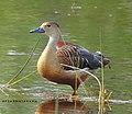 Lesser whistling duck 2.jpg