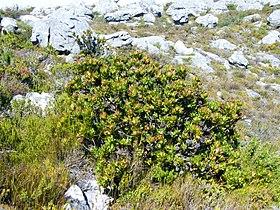 Leucadendron strobilinum.jpg