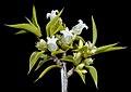Leucopogon sp. Clyde Hill (M.A. Burgman 1207) - Flickr - Kevin Thiele.jpg