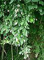 Ligustrum obtusifolium1.jpg