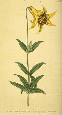 Lilium canadense (alpha)