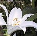 Lilium nobilissimum.jpg