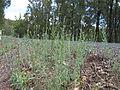 Linaria arvensis habit1 (15100764310).jpg