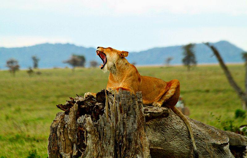 File:Lion Serengeti.JPG