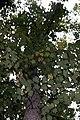 Liriodendron tulipifera 9zz.jpg