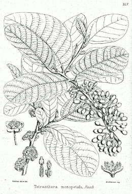 Litsea monopetala Bra45