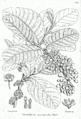 Litsea monopetala Bra45.png