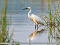 Little Egret (Egretta garzetta) (38929282874).jpg