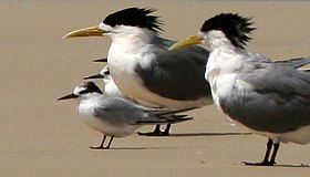 Little Tern with Crested Terns-2008-30-07.jpg