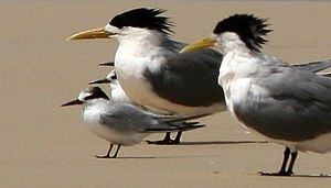 Greater crested tern - Roosting with little terns, note size difference