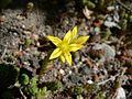 Little yellow flower.jpg