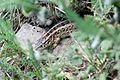 Lizard in grass (6051682307).jpg