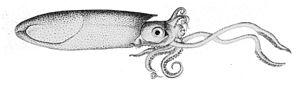 Loliginidae - Lolliguncula brevis