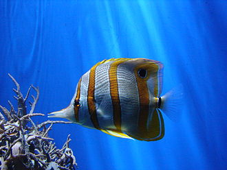 London Zoo - A copperband butterflyfish in the coral reef hall