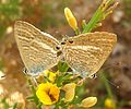 Long-tailed Blue. Lampides boeticus - Flickr - gailhampshire (1).jpg