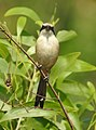 Long tailed shrik (Lanius schach) 12.jpg