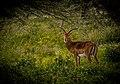 Lonly-Deer-1.jpg