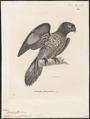 Lorius sintillatus - 1700-1880 - Print - Iconographia Zoologica - Special Collections University of Amsterdam - UBA01 IZ18500302.tif