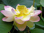 Lotus Nelumbo nucifera Flower Large 3264px.jpg
