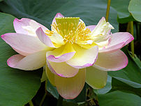 Picture of a Lotus ({{BioLinkSpecies|Nelumbo}}...