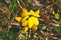 Lotus corniculatus ENBLA02.jpg