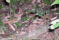 Lowland streaked tenrec. Hemicentetes semiispinosus - Flickr - gailhampshire.jpg