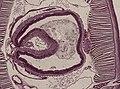 Lumbricus (YPM IZ 063737).jpeg