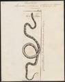 Lycodon petolarius - 1700-1880 - Print - Iconographia Zoologica - Special Collections University of Amsterdam - UBA01 IZ11900141.tif