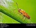 Lygaeoid seed bug (32779243243).jpg