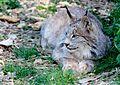 LynxCanadensis.jpg