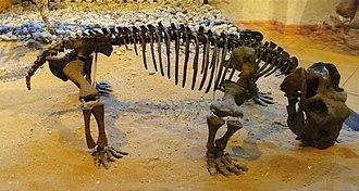 Lystrosaurus - Lystrosaurus hedini skeleton at the Museum of Paleontology, Tübingen