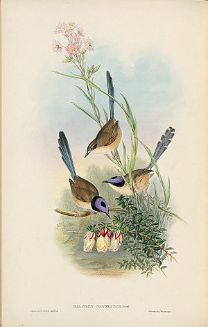 Purple-crowned fairywren - Purple-crowned fairy-wren painting by John Gould