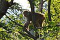 Macaca mulatta - Shimla 2014-05-07 1400.JPG