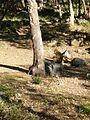 Macaque berbère à Ziama Mansouriah 21 (Algérie).jpg